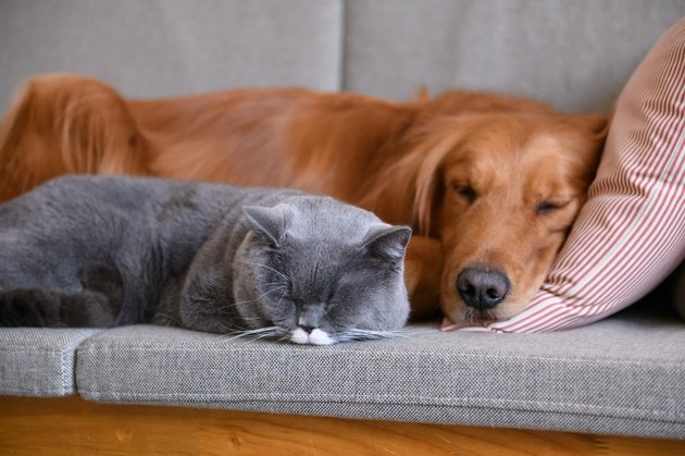 Golden Retriever sleeps with the cat on a gray couch