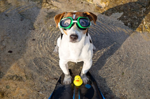Portrait of dog in swimming glasses and flippers