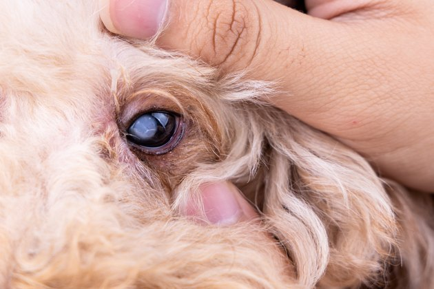 Hand embracing pedigree poodle dog with cataract problem on his eye