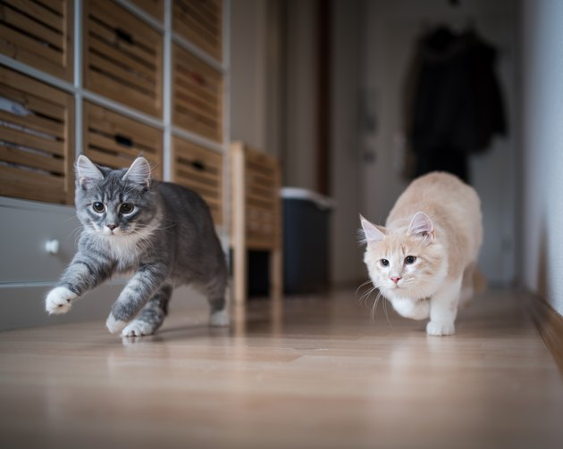 two cats running through the house playing