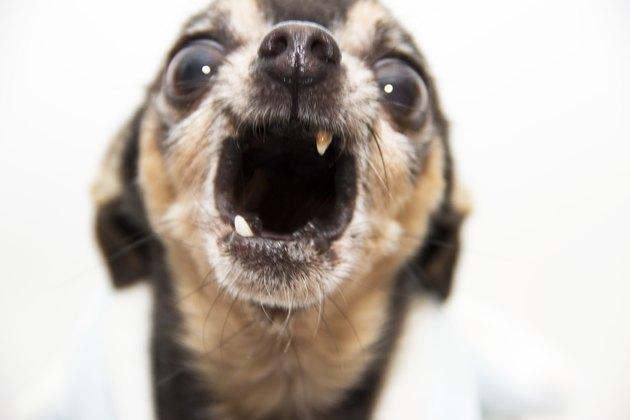 Screaming Chihuahua