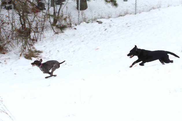 Dogs running through a snowy field