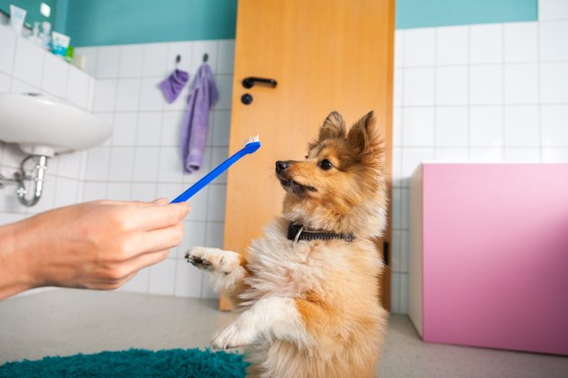 Shetland Sheepdog with a toothbrush