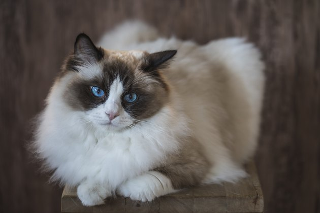 A bicolor brown and white ragdoll cat