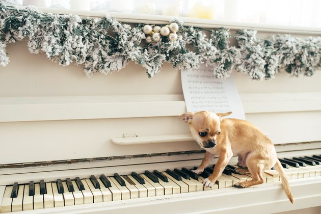 Little dog sits on the keys of white piano