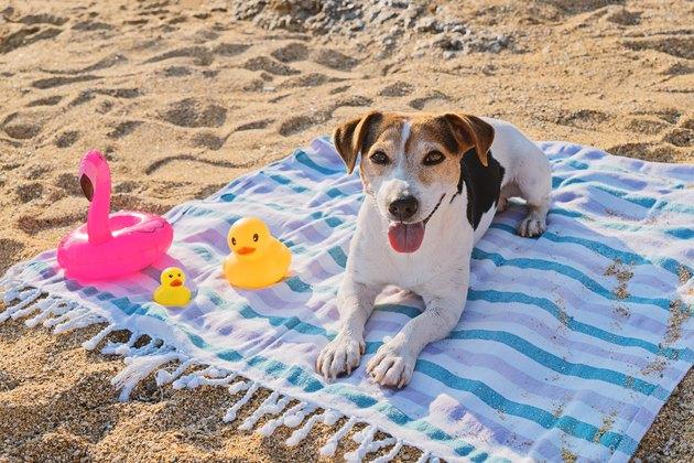 Dog lying and enjoys on blue towel on sand