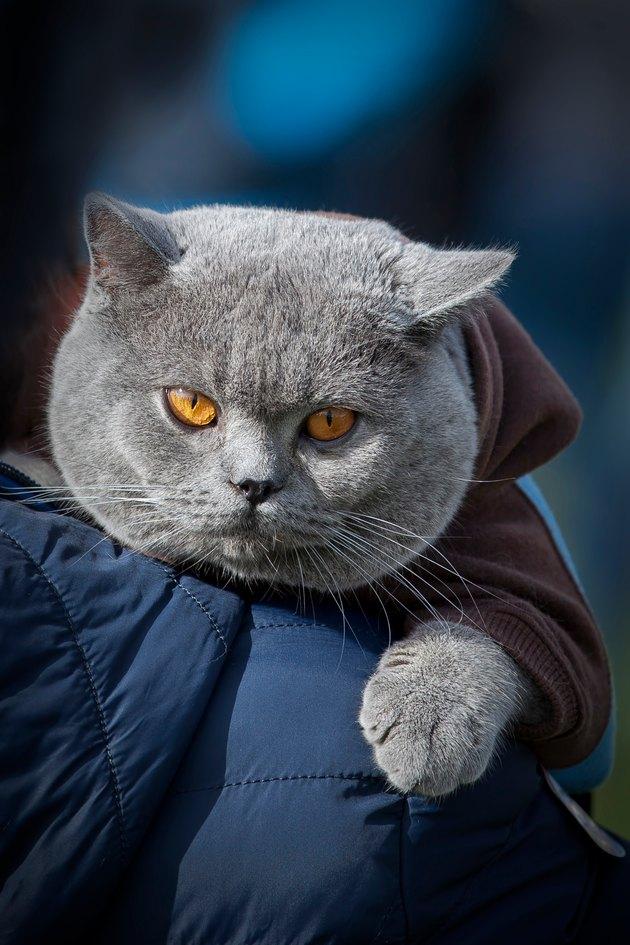 British Shorthair cat in blue