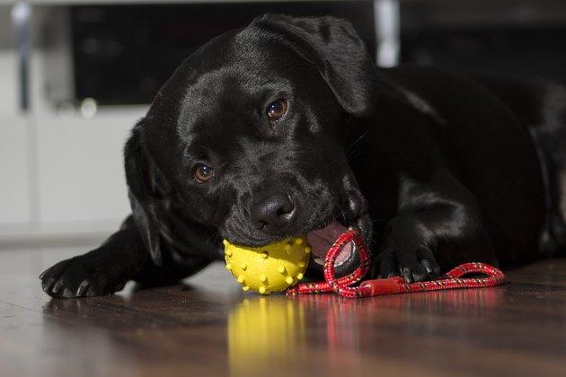 Labrador with a toy