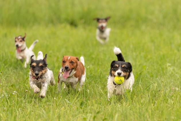 A pack of small Jack Russell Terrier are running and playing together in the meadow with a ball