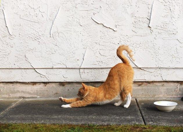 orange cat outside stretching