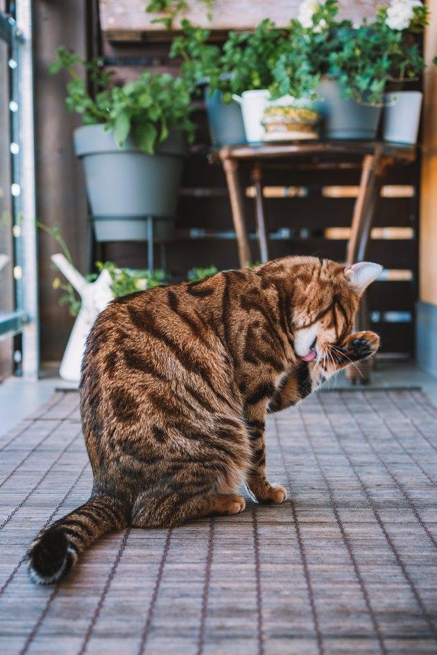 Beautiful bengal cat feeling sleepy or playful.