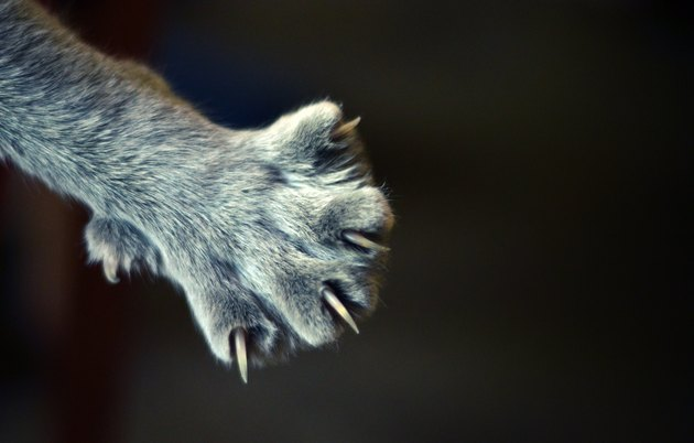 closeup of cat paw with claws extended on black background