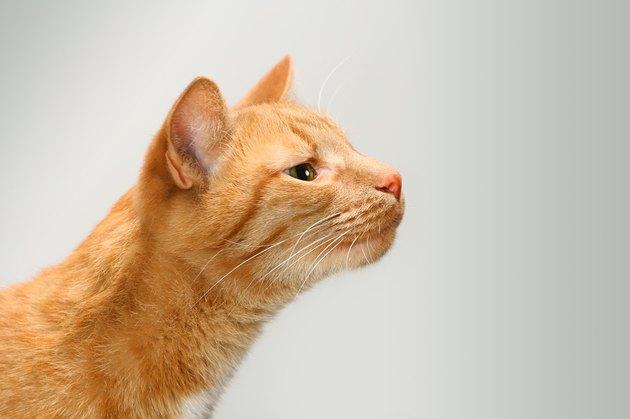 orange cat sniffing the air