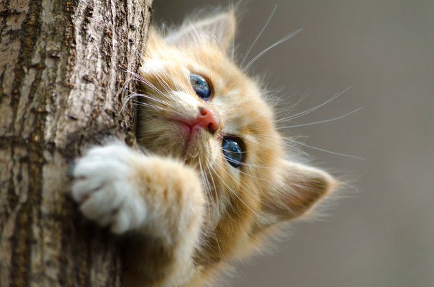ginger striped kitten climbing up a tree trunk