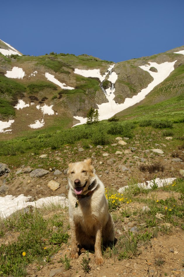 Contented Dog on a Mountain Hike