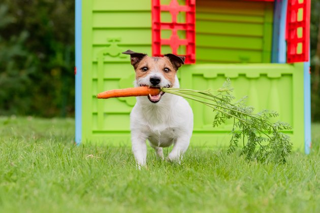 dog carrying a carrot in the grass