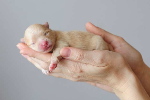 Newborn puppy of german spitz sleeping on human hands