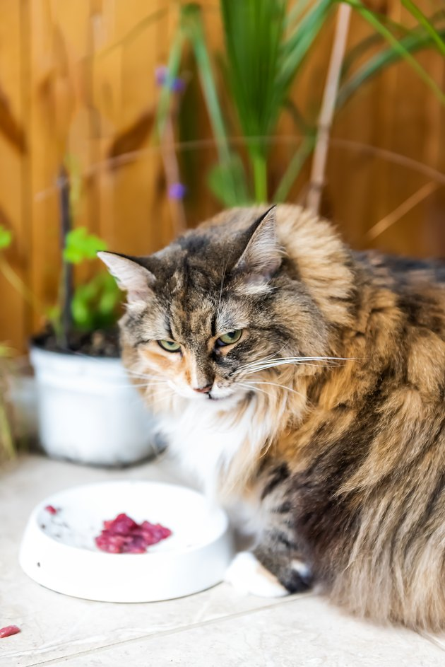 Closeup of angry annoyed calico maine coon cat sitting eating hungry facial expression funny in kitchen with raw beef meat in bowl