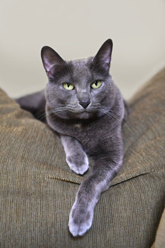 Korat Cat Resting on Sofa