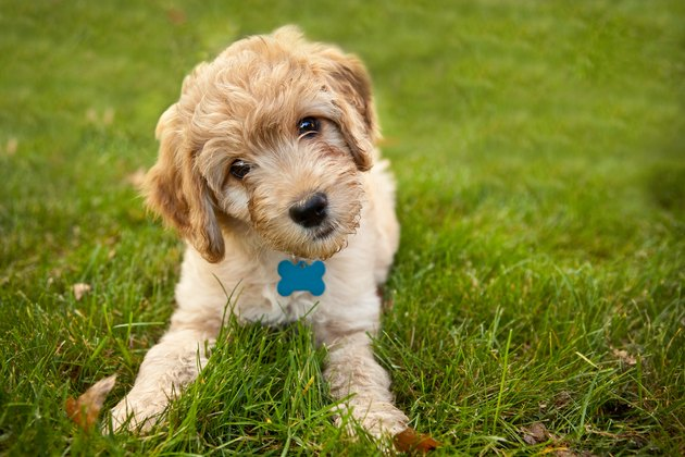 Goldendoddle Puppy Laying in Grass