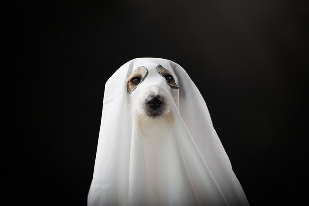 dog in ghost costume on black background