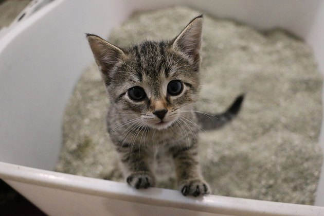 beautiful small kitten is standing in the cat toilet and looking up to the camera