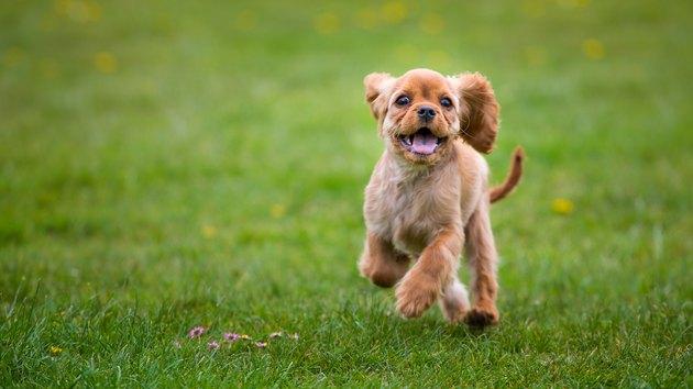 Little cavalier king charles spaniel puppy running outside