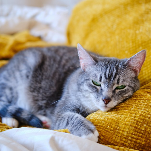 The cat purrs lying on the yellow bed