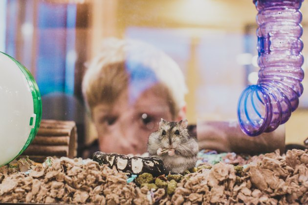 Little boy peeking through terrarium behind his pet hamster