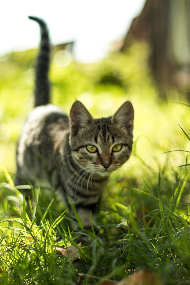 cat walking in tall grass
