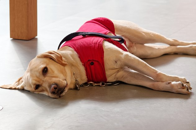 Guide dog in red dog clothes lying on ground and looking at camera friendly, Labrador retriever is a friendly dog could be used as guide dog for blind people.