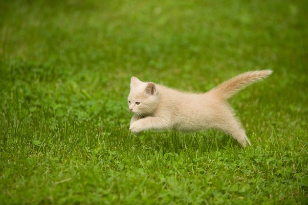 Blonde kitten runs and plays in grass