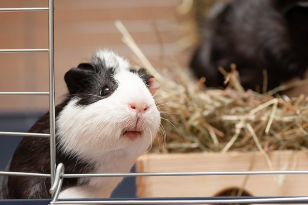 Portrait of little black and white guinea pig