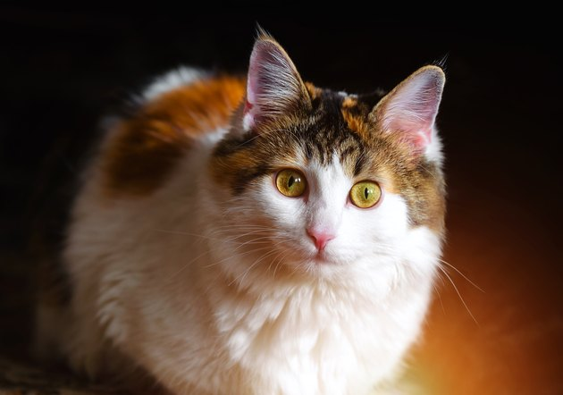 Calico cat with big yellow eyes