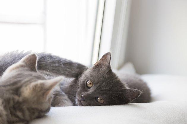 British shorthair kittens lying on window sill