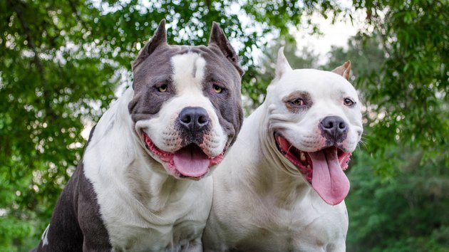 Two Pit Bulls