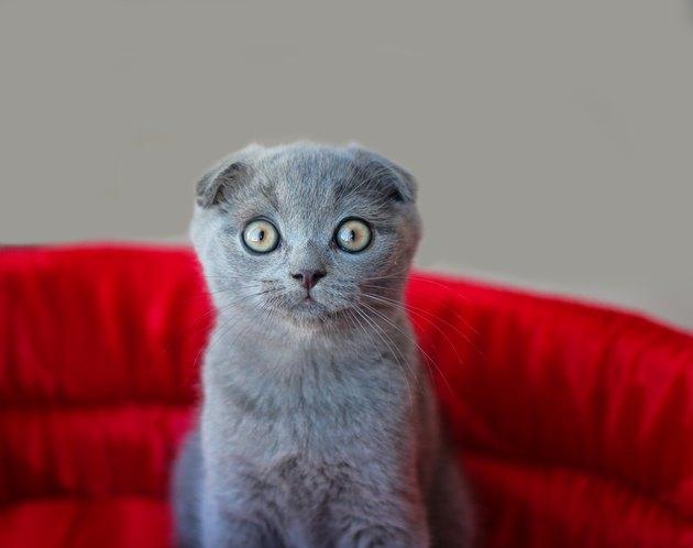 Scottish Fold cat sitting on a red seat.