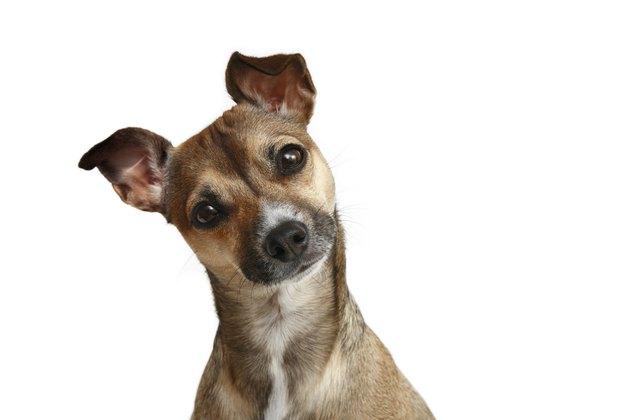 Friendly Chihuahua