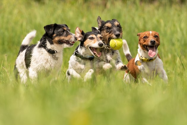 Many dogs run and play with a ball in a meadow - a pack of Jack Russell Terriers