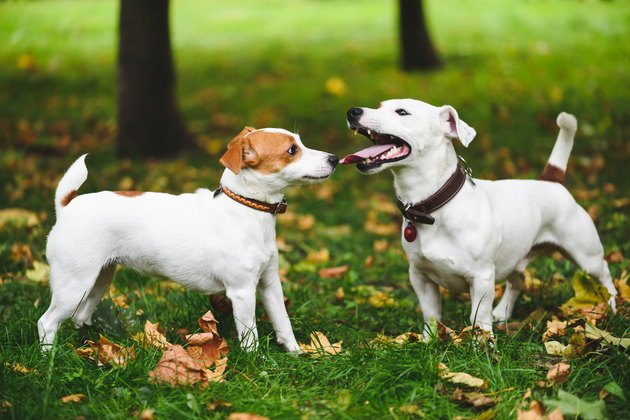 Female and male terrier dogs walking at fall (autumn) park