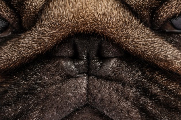 Close up Nose of dog pug breed fresh and clean Nose for Healthy purebred pug dog