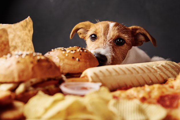 Hungry dog stealing food from table. Jack russell terrier puppy eat unhealthy fast food. Pet nutrition