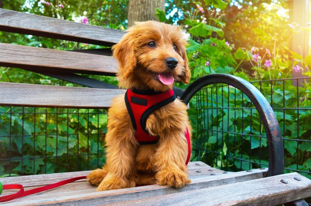 Miniature Goldendoodle puppy wearing red harness sitting on a bench