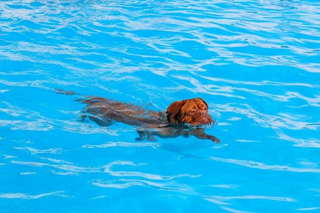 Dog swimming in pool