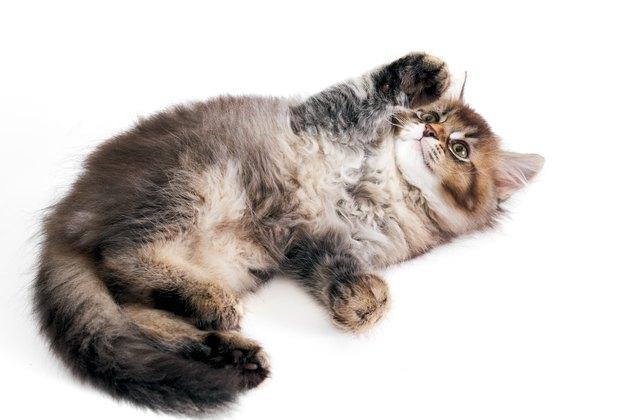 Playful grey kitten isolated on white.