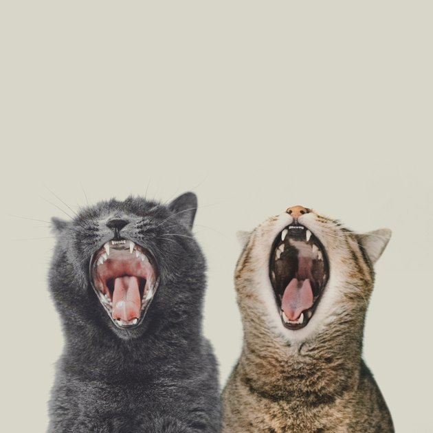 Close-Up Of Cats Yawning Against White Background