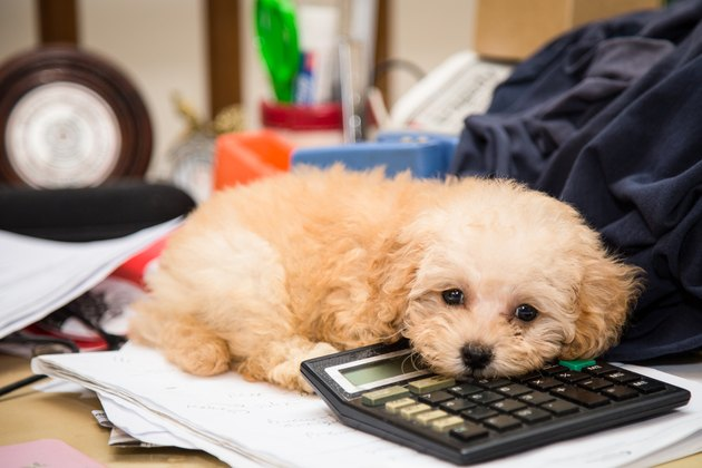 Cute poodle puppy dog resting on calculator messy office desk