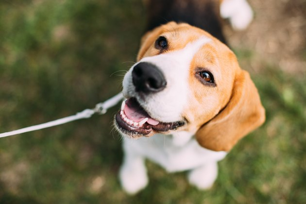 Beautiful Tricolor Puppy Of English Beagle Sitting On Green Grass. Smiling Dog