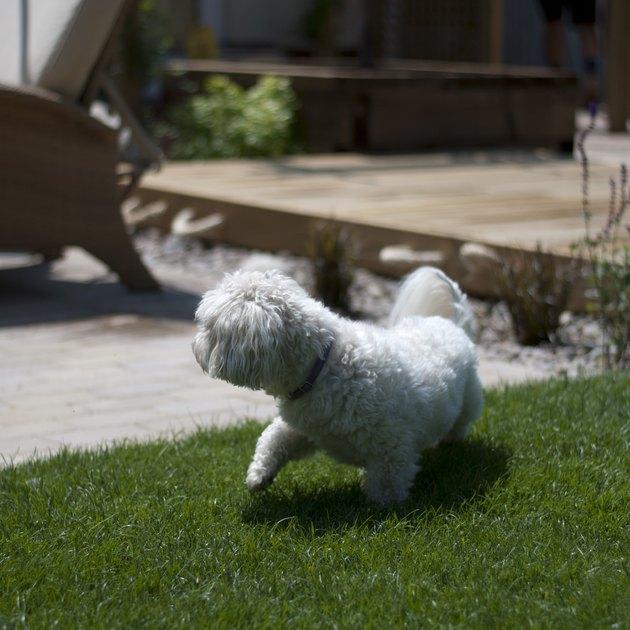 Havanese on Fresh Lawn