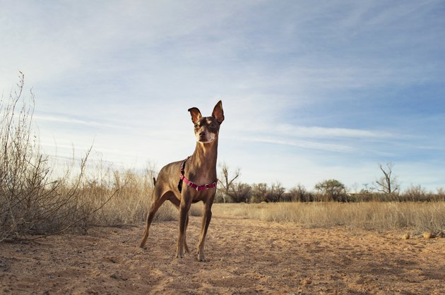 Brown Miniature Pinscher standing in field against sky